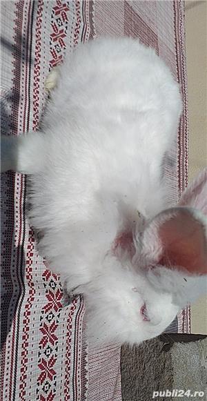 Vand iepuri  albi cap de leu mari  cu blana stralucitoare150 lei frumoși pentru copiiii  - imagine 5