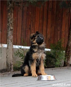 Vand pui ciobanesc german cu par lung, cu pedigree, in Cluj-Napoca, din parinti TOP Germania - imagine 3