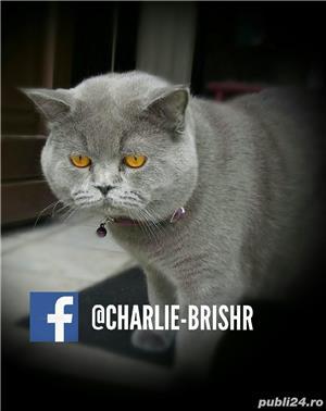 Motan British Shorthair Blue, din părinți cu pedigree, caut pisicuțe pt împerechere. - imagine 1