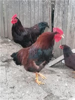 cocos rhode Island, găini  - imagine 9