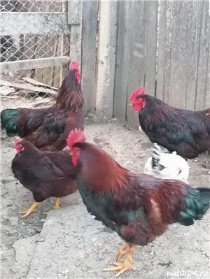 cocos rhode Island, găini  - imagine 5