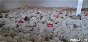 Vând pui de carne  - imagine 4