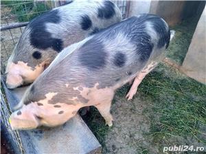 Porci de vinzare  - imagine 1