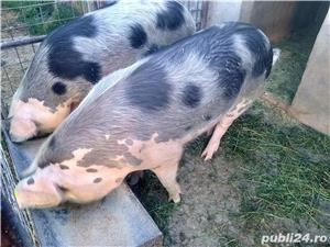 Porci de vinzare  - imagine 4