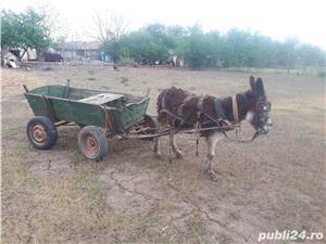 Vand magarus inhamat la cotiga - imagine 3