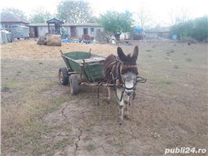 Vand magarus inhamat la cotiga - imagine 4