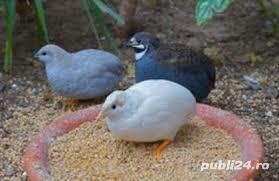 Vand oua pentru incubat prepelita chinezeasca pitice si pui. - imagine 3