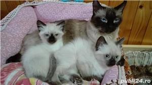 Pisici balineze - imagine 1