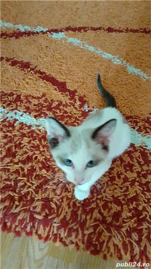 Vand pui de pisica din rasa balineza - imagine 1