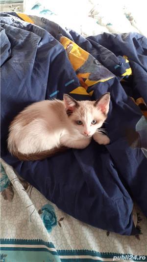 Vand pui de pisica din rasa balineza - imagine 2