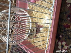 Vând hamsteri Roborovski  - imagine 2