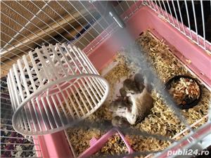 Vând hamsteri Roborovski  - imagine 5
