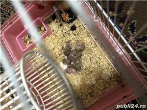 Vând hamsteri Roborovski  - imagine 4