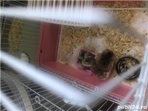 Vând hamsteri Roborovski  - imagine 3