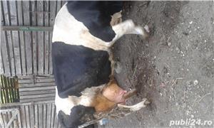 vand vaca. - imagine 3
