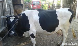 vand vaca. - imagine 2