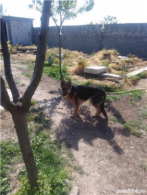 Câine lup , 8 luni - imagine 2