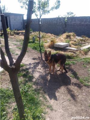 Câine lup , 8 luni - imagine 3