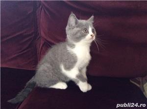 pisicuta super iubitoare bombai - imagine 2