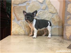 Pui Bulldog Francez - BucuriaCasei - imagine 4