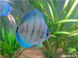 Pesti acvariu Discus - imagine 2
