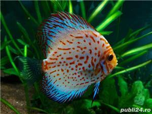 Pesti acvariu Discus - imagine 3