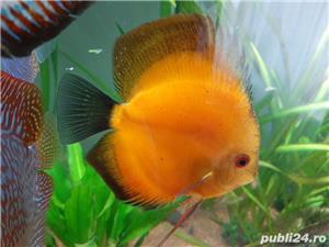 Pesti acvariu Discus - imagine 4