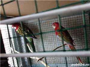 Vând papagali rosella  - imagine 2