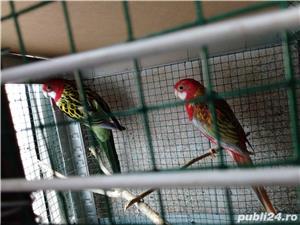 Vând papagali rosella  - imagine 4