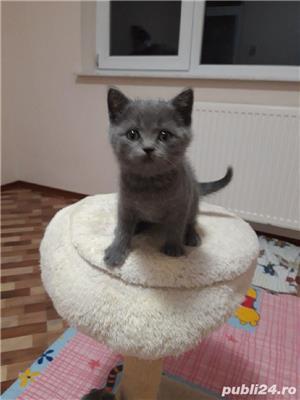 pui pisica albastru rusia! - imagine 2
