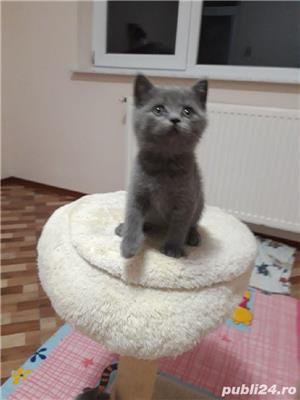 pui pisica albastru rusia! - imagine 3