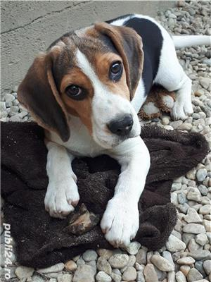 Vand catelusa beagle - imagine 2