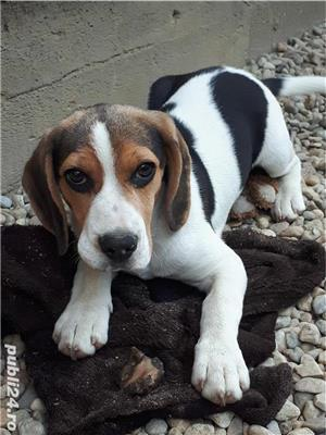Vand catelusa beagle - imagine 1