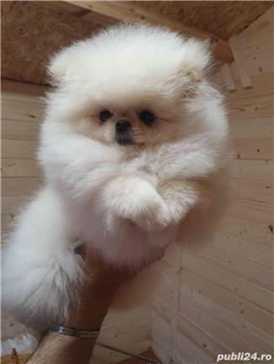 Pomeranian ZwergSpitz din parinti show class ! alb imaculat BabyDollFace -littlenose! - imagine 3
