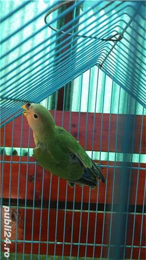 Vand papagali agapornis roseicollis - imagine 1