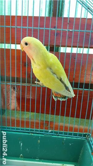 Vand papagali agapornis roseicollis - imagine 3