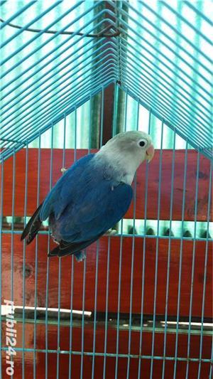 Vand papagali agapornis roseicollis - imagine 4