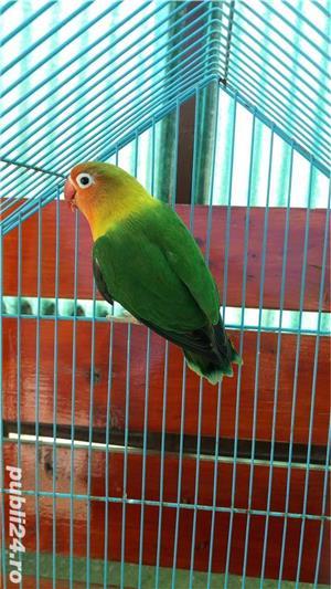 Vand papagali agapornis roseicollis - imagine 5
