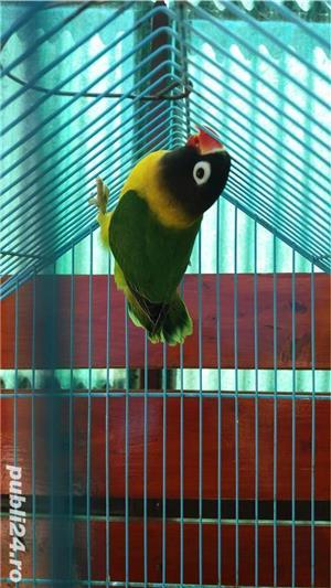 Vand papagali agapornis roseicollis - imagine 6