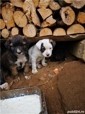 Metis Dog Argentinian  - imagine 3