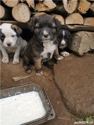 Metis Dog Argentinian  - imagine 2