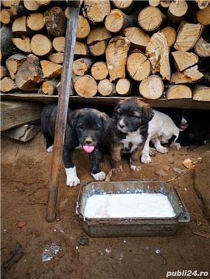 Metis Dog Argentinian  - imagine 5