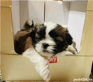 Shih Tzu - imagine 3