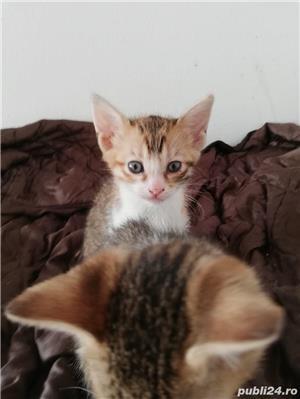 Pisici savannah cu british - imagine 2