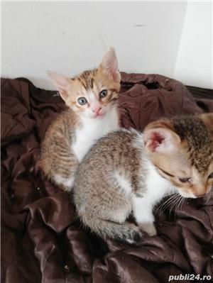 Pisici savannah cu british - imagine 4