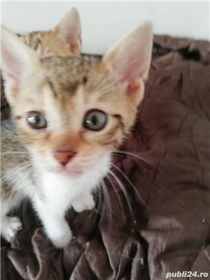 Pisici savannah cu british - imagine 1