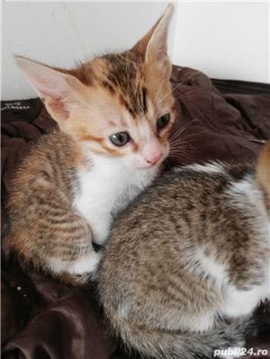 Pisici savannah cu british - imagine 3