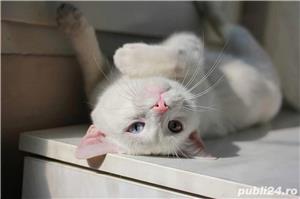 Pisica albă rasă Khao Manee - imagine 2