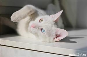 Pisica albă rasă Khao Manee - imagine 1