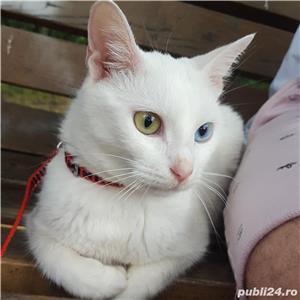 Pisica albă rasă Khao Manee - imagine 4